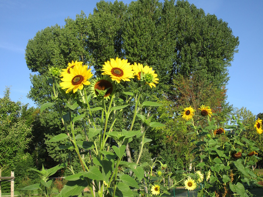 Sonnenblumen im Interkulturellen Garten Bamberg