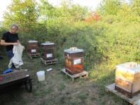 Buger Wiesen-Bienen