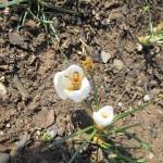 Honigbienen in weißen Krokussen