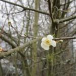 Erste Schlehenblüte Bamberg