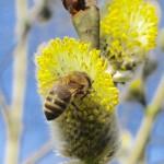 Honigbiene an Salweide im Hainpark Bamberg, Hollergraben