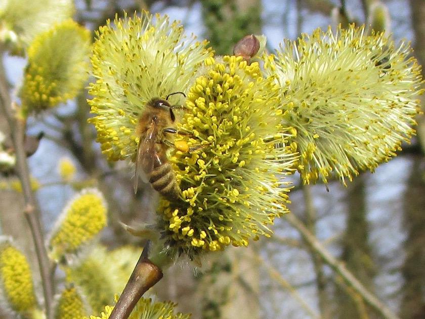 Biene an Salweide im Hainpark Bamberg, Hollergraben