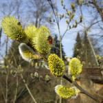 Gehörnte Mauerbiene an Salweide im Hainpark Bamberg, Hollergraben