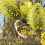 Biene und Fliegen an Salweide (Salix caprea) im Hainpark Bamberg, Hollergraben