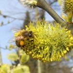 Biene an Salweide (Salix caprea) im Hainpark Bamberg, Hollergraben