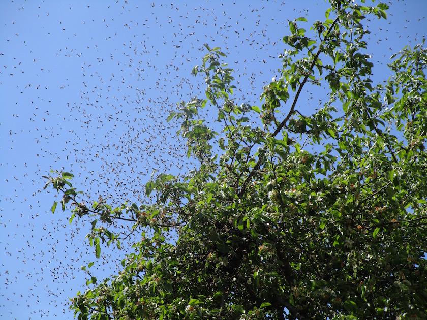 -Bienenschwarm