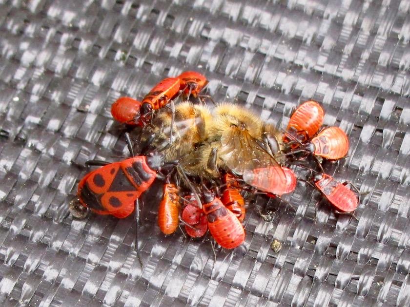 Feuerwanzen fressen tote Biene auf