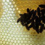 Wabe mit Bienen