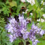 Hummel-und-Bienen-Stelldichein an Phacelia