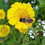 Schwebfliege (Syrphidae) an Färberkamille (Cota tinctoria)