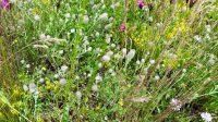 Hasenklee, eine prima Bienenweidepflanze