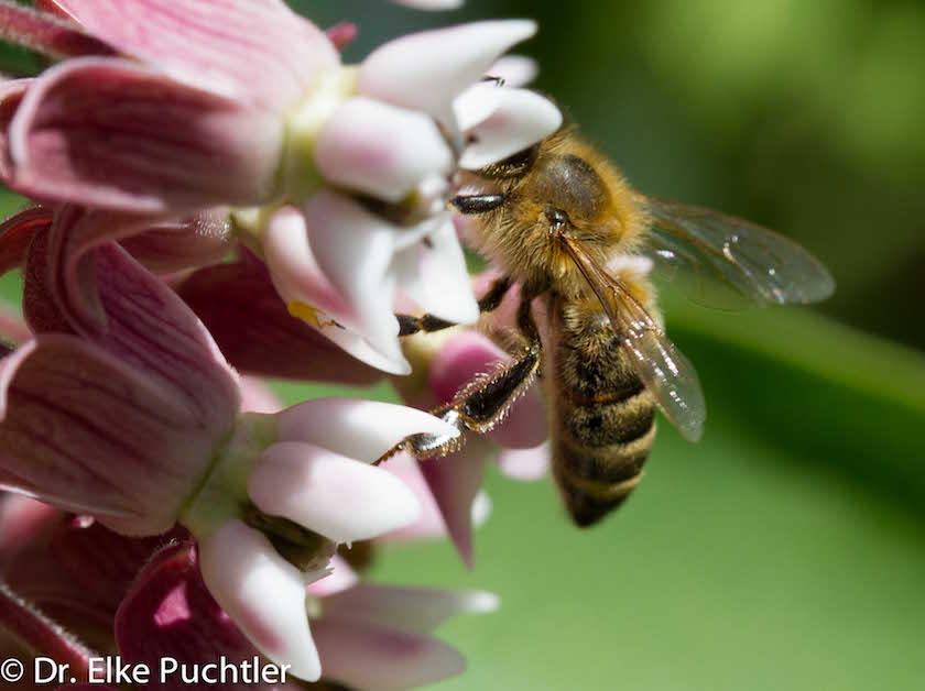 Seidenpflanze mit Biene / Foto @ Elke Puchtler