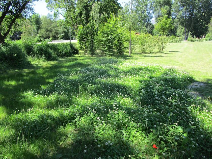 Kleewiese, sehr attraktiv als späte Massentracht für Bienen