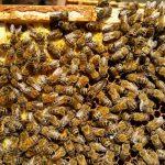 Hier ist eine Bienenkönigin versteckt!