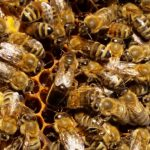 Bienenkönigin inmitten ihres Hofstaates