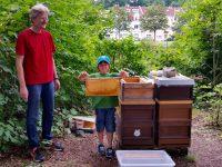 Junger Honigerntehelfer zieht Honigwabe