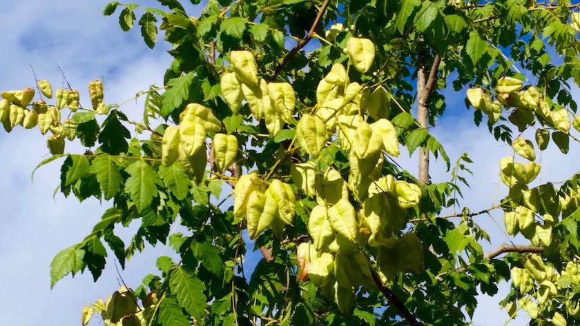 Blasenesche, Koelreuteria paniculata