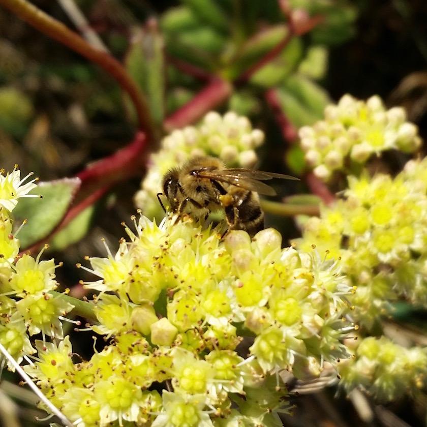 181802-Honigbiene-an-Bluete