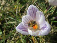 Biene in Krokus