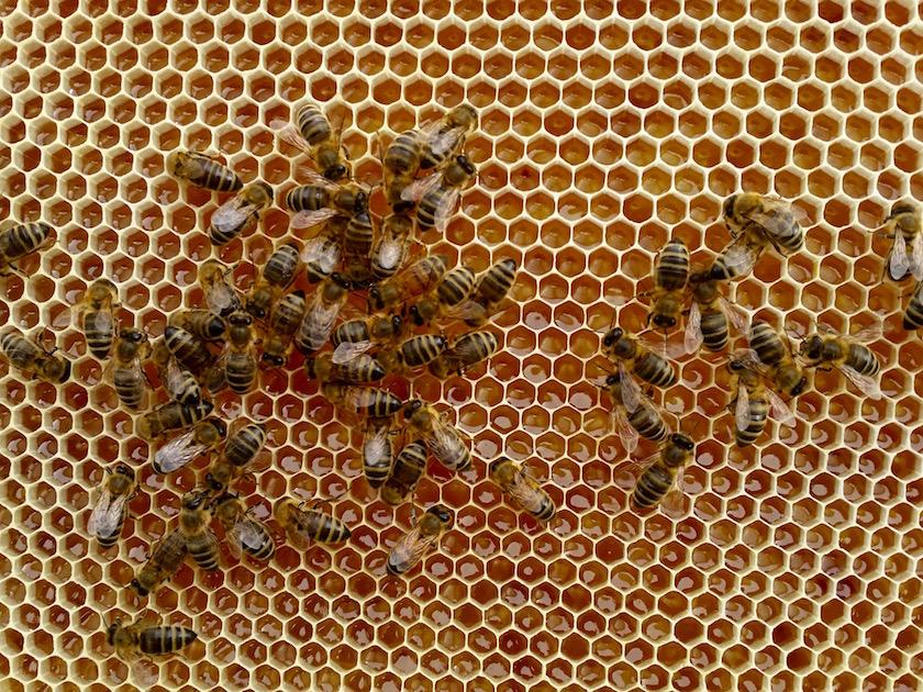 Bienen beim Honigverarbeiten
