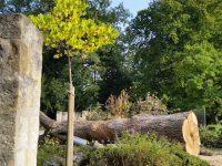 Junge Linde an Wespe an gefällter Eiche im Alten Botanischen Garten im Hainpark Bamberg