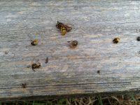 Tote Wespen am Bienenstock