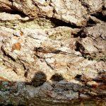 Riesenschlupfwespe auf der Eichenrborke