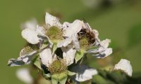 Biene an Obstblüte © Honig-und-Bienen.de