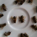 Totenfallkontrolle, verkürzter Hinterleib; Diagnose: Varroaschaden