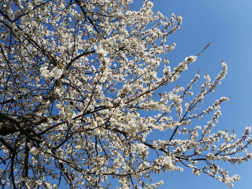 Weißer Blütentraum vor blauem Himmel