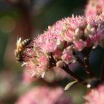 Biene an Blüte © Alexandra Klemisch