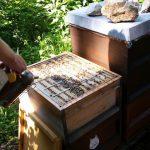 Geöffneter Bienenstock am Lehrbienenstand