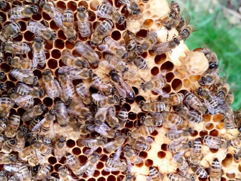 Die Königin entdeckt! Besuch unseres Lehrbienenstands am Fünferlessteg