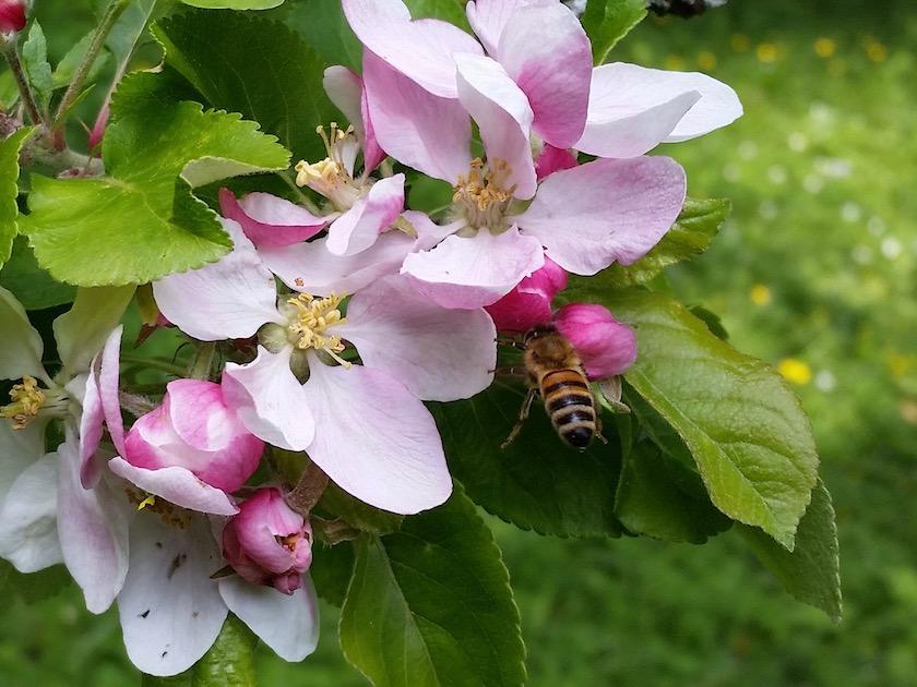 Biene an Apfelbaumblüte