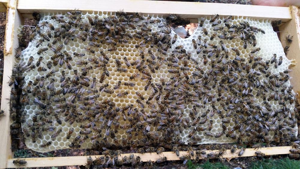 Bienenbesetztes Rähmchen