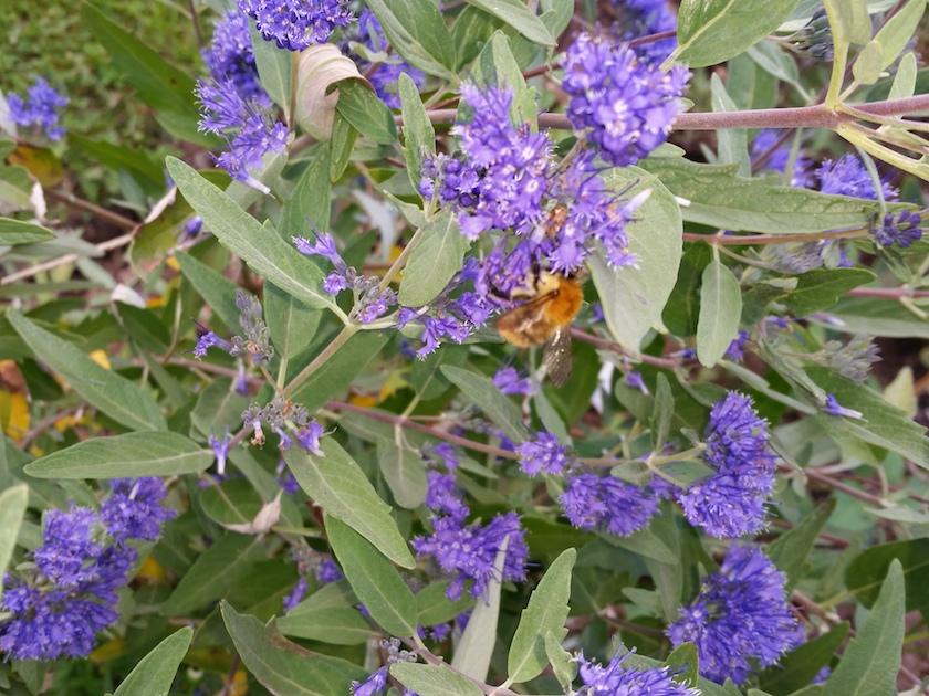Wildbiene an Bartblume (Caryopteris clandonensis)