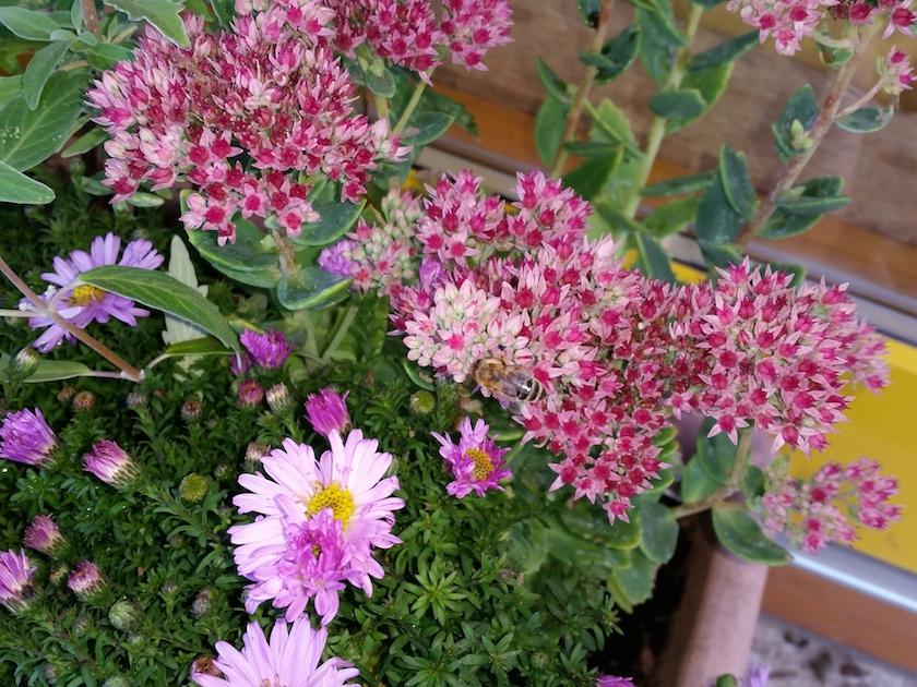 Biene an Fetthenne (Sedum hyb. abbeydore)