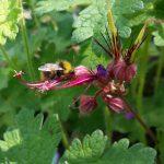 Wildbiene an Storchschnabel