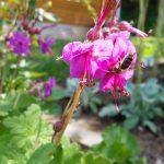 Honigbiene an Balkan Storchschnabel