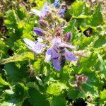 Biene an Hängepolsterglockenblume