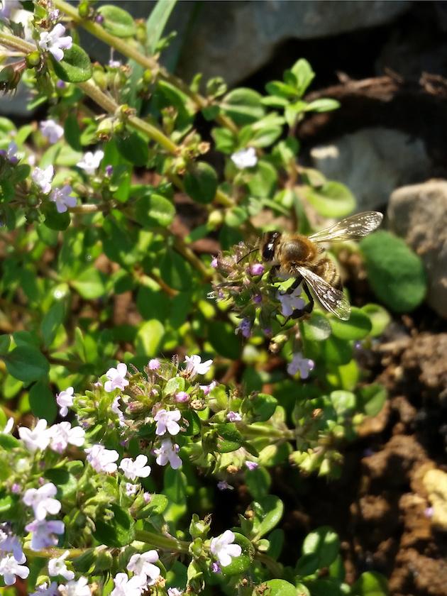Biene an Thymian Thymus vulgare