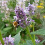 Wildbiene (Sandbiene) an Anisysop (Agastache-anisata) auch: Duftnessel