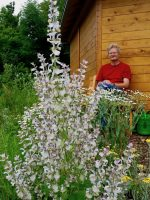 Muskatellersalbei Salvia Sclarea