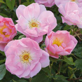 Rosa 'The Lady's Blush'