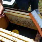 Blick in die Beute auf die Bienenflucht