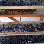 Getrocknete Lavendelbüschel