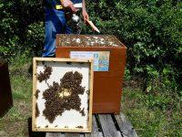"""Entfernen der Bienenflucht am Volk Felicitas """"Fee"""" Sauer"""