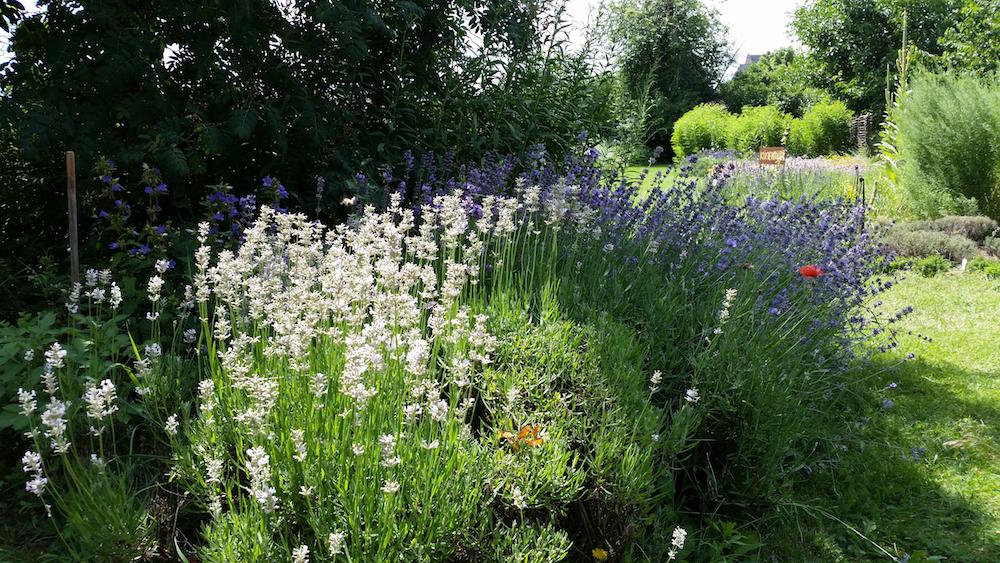 Lavendelbüsche