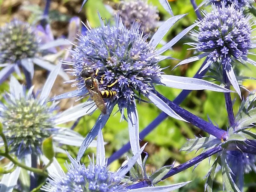 Wildbienen an Edeldisteln (Eryngium planum)