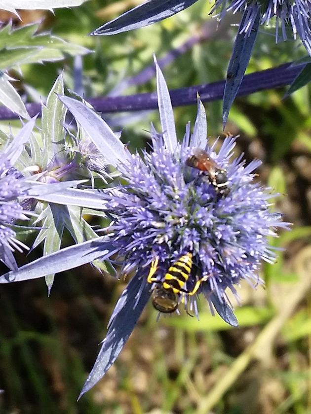 Wildbienen an Edeldisteln